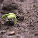 germinating pole bean