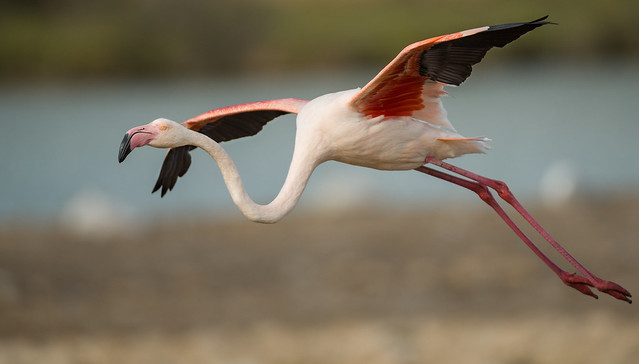 Flamingo comes in to land.