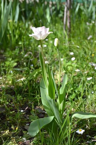 Tulipa - espèces et petits hybrides (sections 12 à 15) 32669527030_e91e39662e