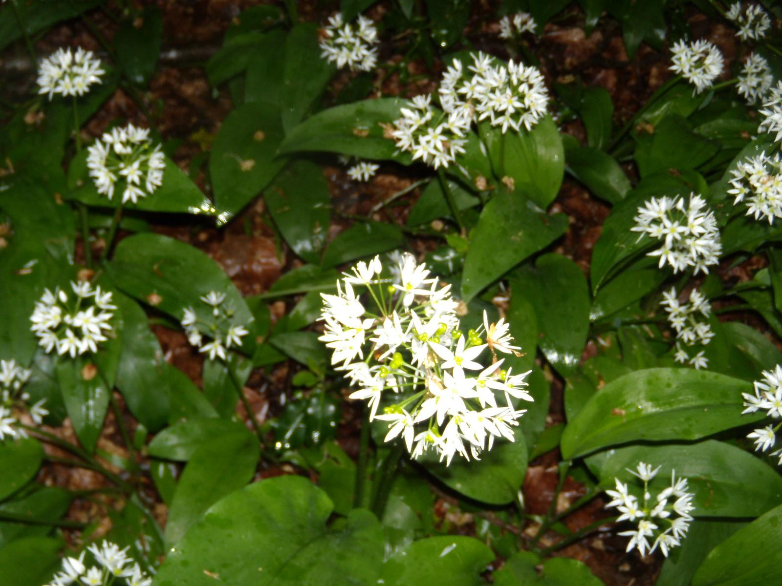 Wild garlic Henley Circular via Stonor