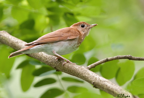 Veery | by Kelly Colgan Azar