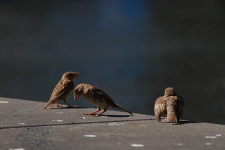 Sparrows at Southbank | by ultrakml