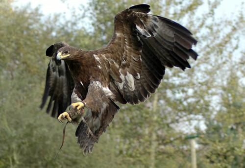 Tawny Eagle? in flight