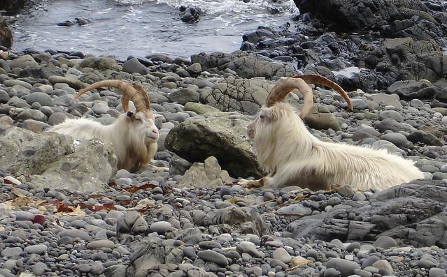 Mull Goats