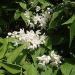 卯の花(万葉植物園)
