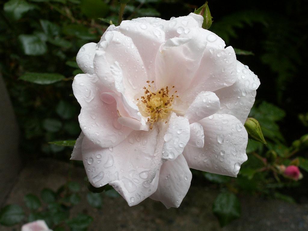 Schwüler Paradieses - Brodem einer Rose stieg mir in Dresden schmeichelnd in die Nase, dennoch bangt ich wie ein Hase vor dem Pechgeruch von Sodom 012
