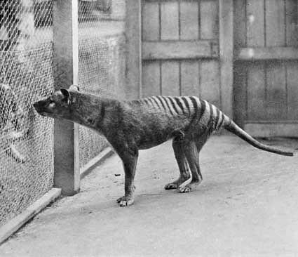 Thylacines 04 (Wiki)