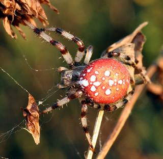 Orange spider-pumpkin-2-sept5-2009- Araneus trifolium   by le maudit