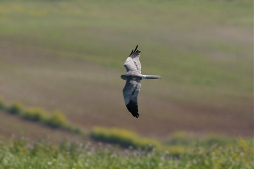 Montagu's Harrier - Circus pygargus - male | by Stephen Daly