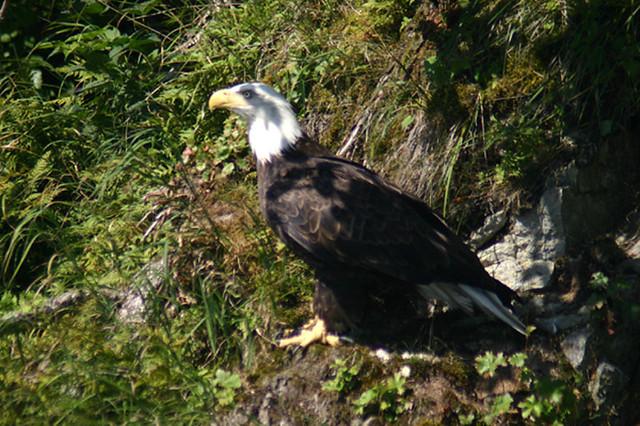 alaska - eagle