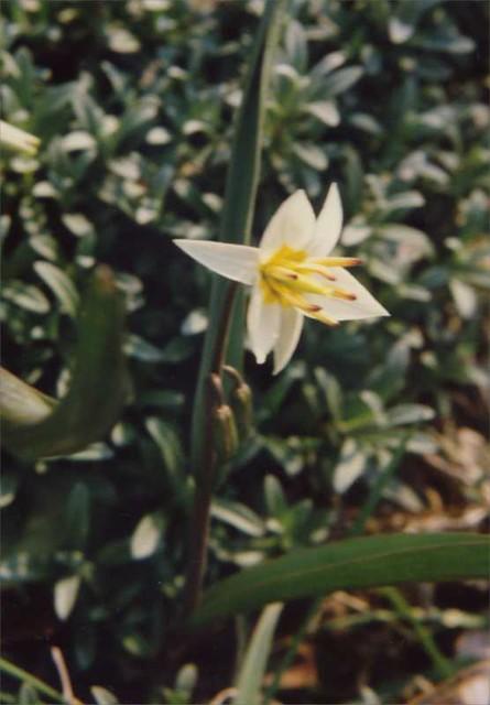 tulpia_turkestanica2