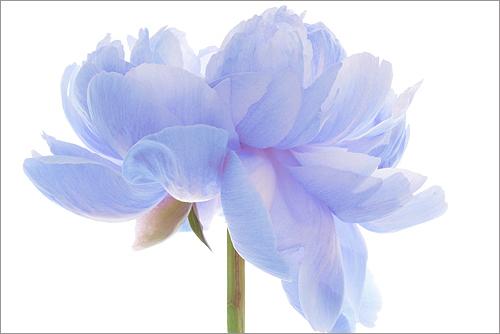 EXPLORED! Flower / blue flower / Natural light / nature / flower / blue / Peony