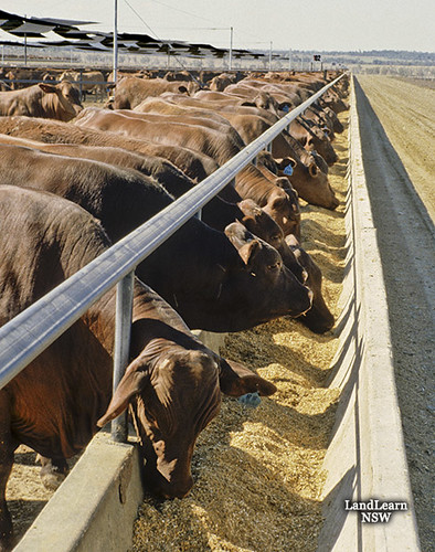 Cattle Feedlot Feed Trough Cattle Feedlot Feed Trough