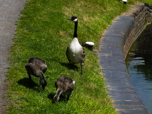 Goose and goslings by a canal