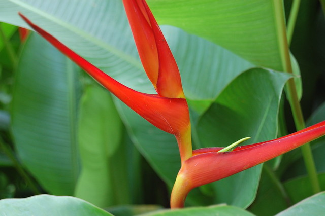 Heliconia abstract
