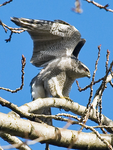 Northen Goshawk Stretch | by mnlamberson