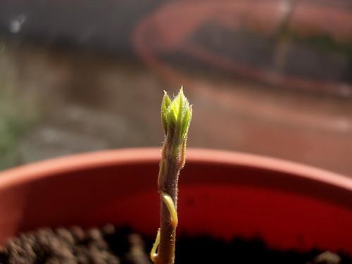 Avocado #3 has leaves | by Maria Keays