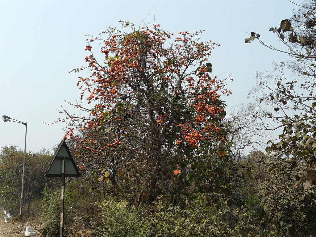 Parrot tree | Palash (Hindi: पलाश) is the State Flower of ... Palash Flower In Hindi