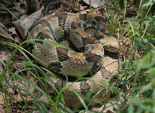 danger snake camouflage viper rattlesnake venomous coiled rattler timberrattlesnake canebrake crotalushorridus zormsk timberrattler pitviper protectivecoloration