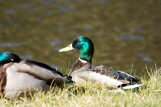 Duck in the grass | by BinaryApe