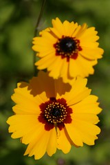 Rising Sun Coreopsis | by groovenaut