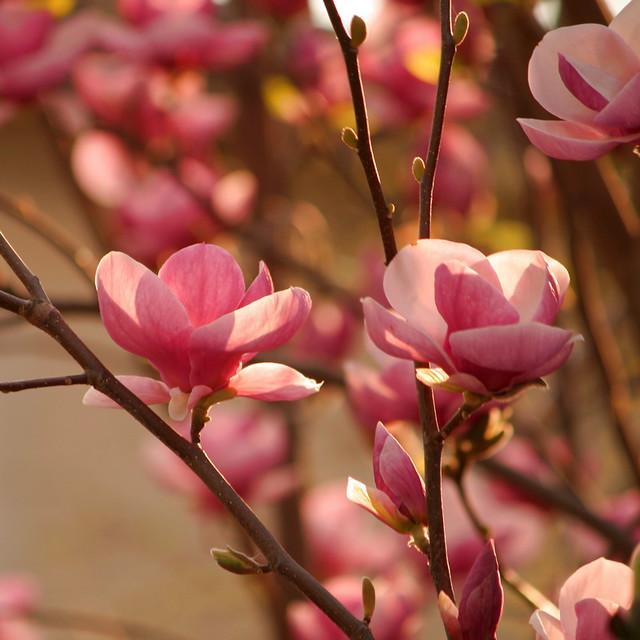 Magnolia Tree Sunset