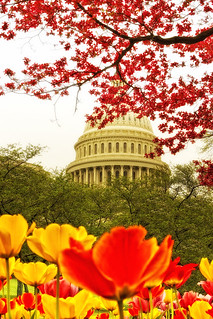 US Capitol with cherry blossom and tulips | by Chris Richards1