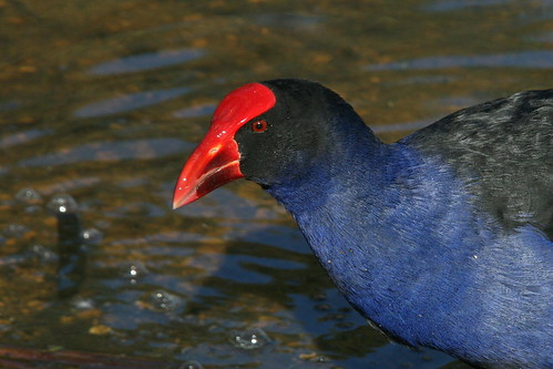 Purple Swamphen | by mrdehoot
