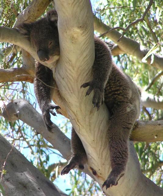Lunchtime koala