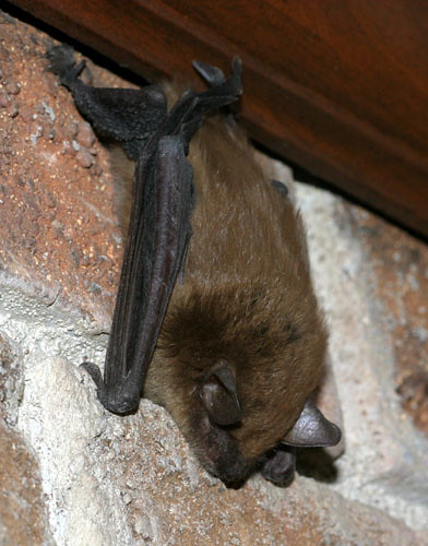 Big Brown Bat perched on chimney | by cotinis