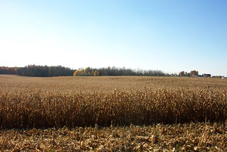 Dead Corn Allegan County Oct 2005 | by ckay