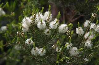 Melaleuca alternifolia | by Eric Hunt.