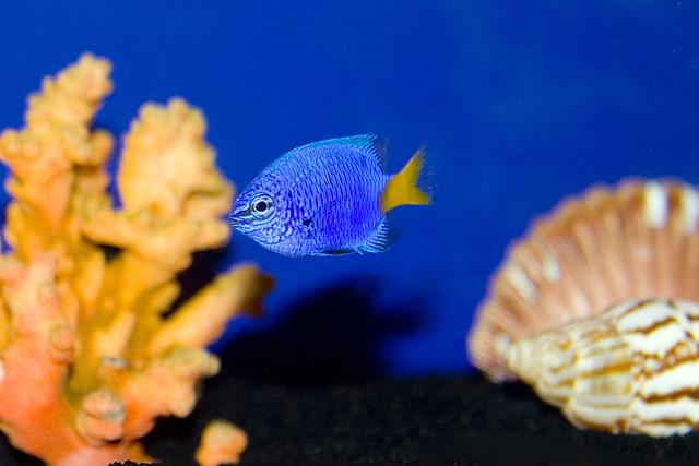 Yellow-Tail Blue Damsel