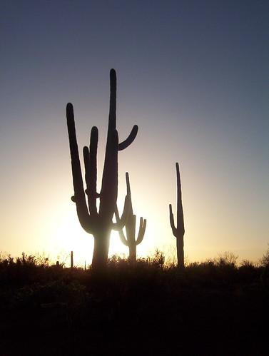 Saguaros at Sunset   by thewoolleyman