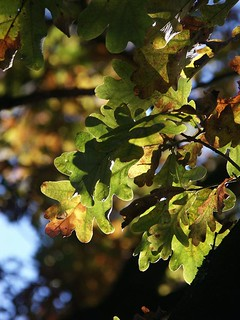 Oak leaves in autumn's sunlight | by bhermans
