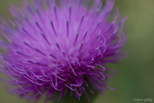 Thistle | by pXa Photography