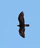 Golden Eagle (Aquila chrysaetos) by TG23-Birding in a Box