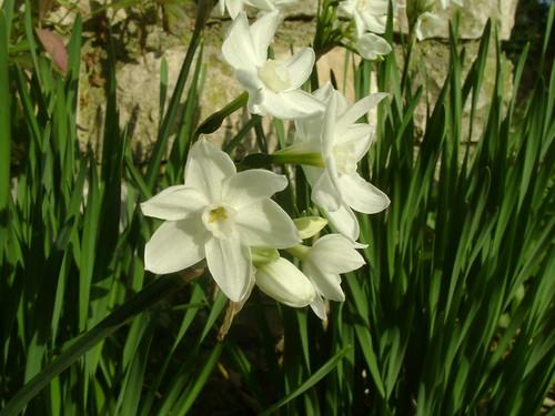 Narcissus - les narcisses - Page 3 32115389334_d14d0195c7