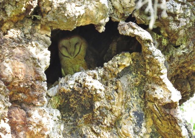 barn owl in tree cavity-cheeseboro canyon
