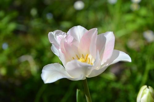 Tulipa - espèces et petits hybrides (sections 12 à 15) 32895838772_a58e761ee8