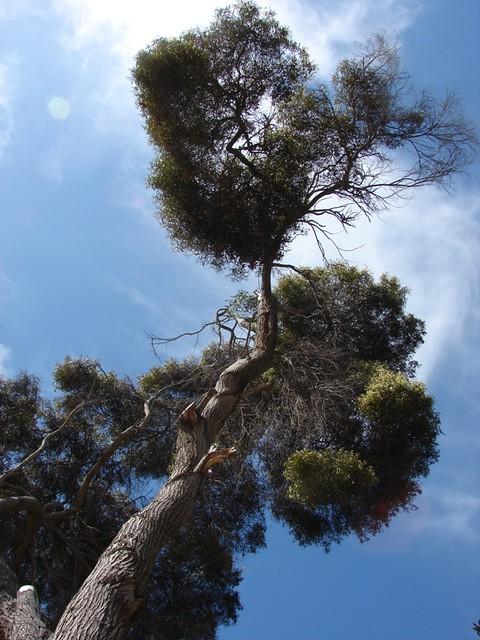 Fabaceae Acacia Melanoxylon R Br Acacias Centenarias E Flickr