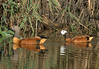 South African Shelduck, Tadorna cana, Kopereend by Peet van Schalkwyk