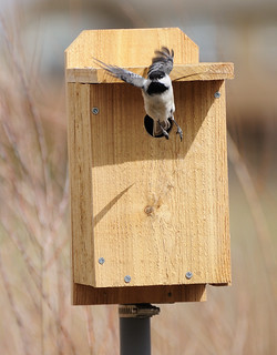 Black-capped Chickadee Leaving the Nestbox | by Darin Ziegler