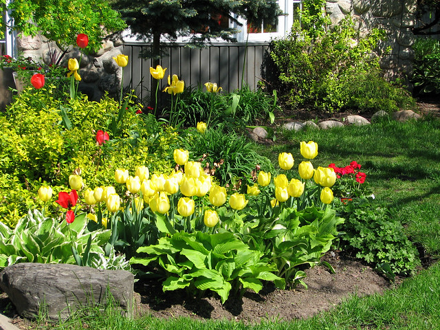 Beaucoup de tulipes dans un jardin