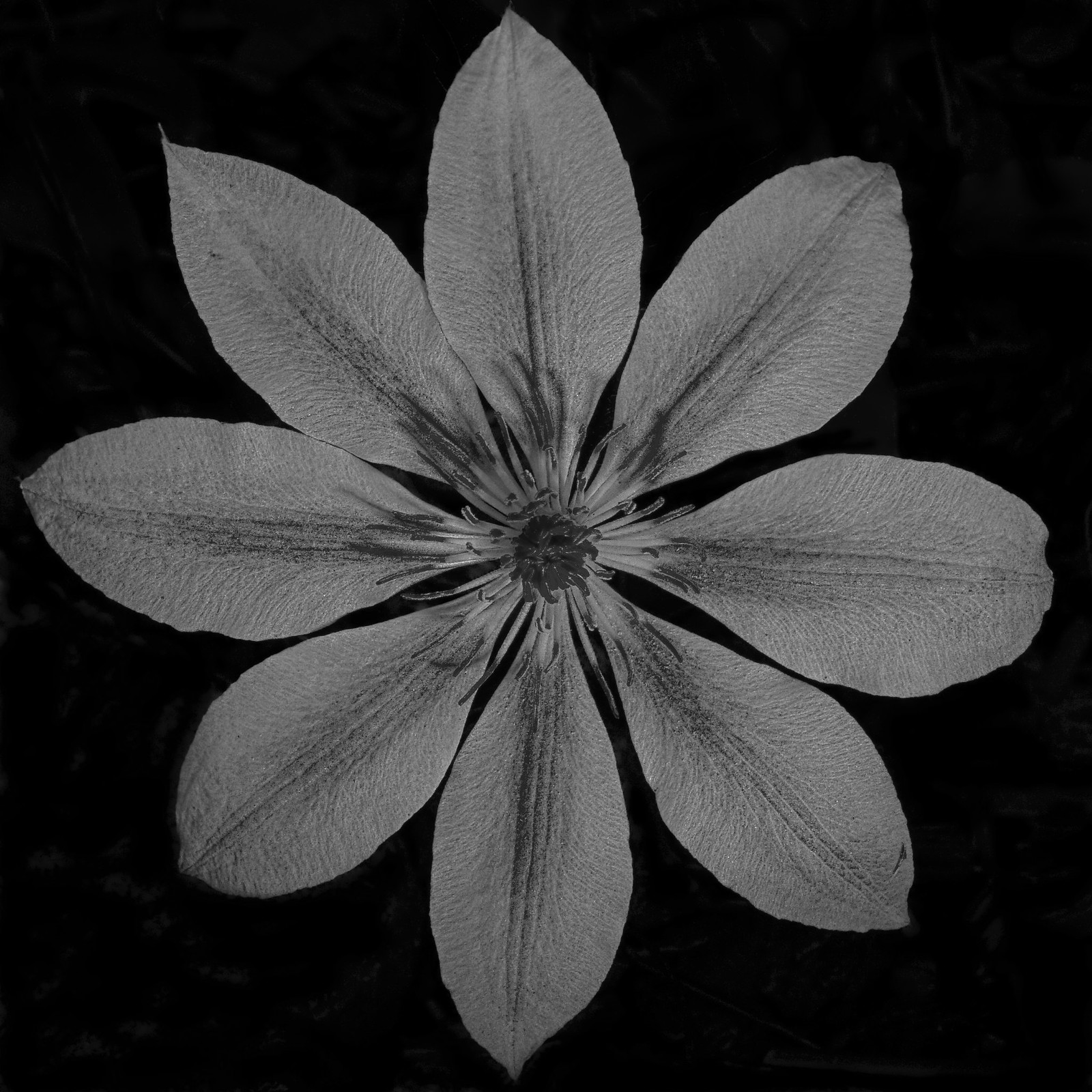 Red B&W Clematis
