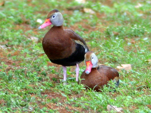 Black-bellied Whistling-Duck Wakodahatchee Wetlands 20090224