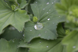Water Droplets on Alchemilla Vulgaris   by Alexandre Dulaunoy