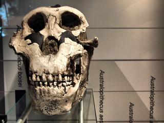 Australopithecus boisei skull | by R0b0l