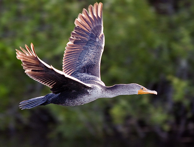 Double-Crested Cormorant in Flight (Phalacrocorax auritus)