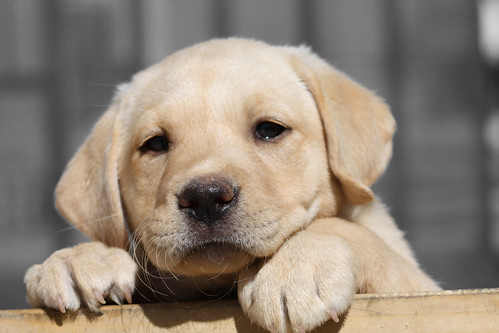 "Lab Puppy ""Nala"" 